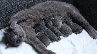 British Shorthair Cat giving birth of 5 babies 4K