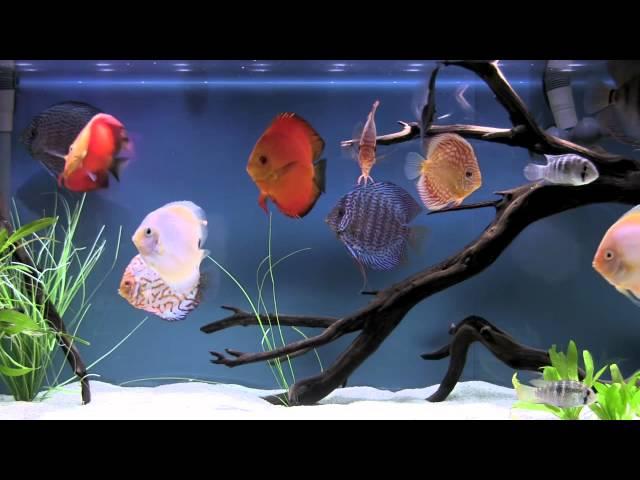 Bluscenes: Scenic Aquarium (Discus tank)
