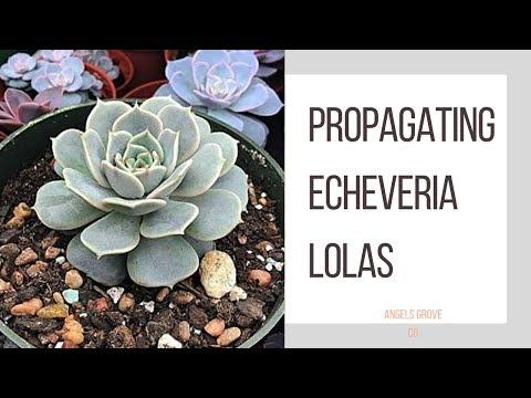Propagating Echeveria Lolas ~ My Favorite Succulent! // Angels Grove Co