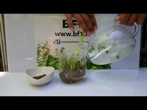 Video Malaysia Herbs - Thyme Herbal Tea [BF1]