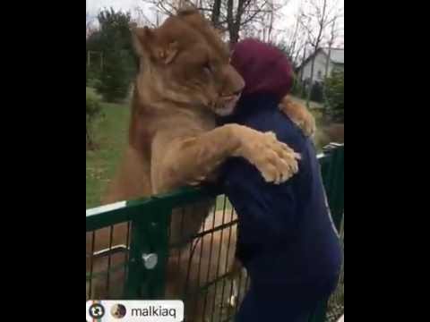 Lion's Love 2 Human...