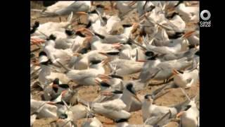 El libro rojo, Especies amenazadas - Islas. La paloma, el gallito y la cacerola