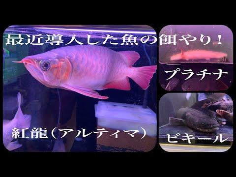 最近導入した魚達の餌やり!紅龍レッドアロワナ(アルティマ)、プラチナエンドリケリー、ビキール!熱帯魚アクアリウム