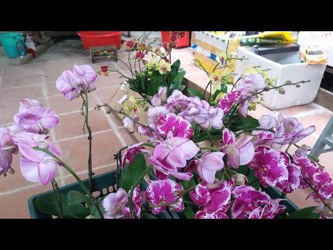 10.1.2020 (LH 0914996482) Hồ điệp đại chơi tết, các loại lan hài và phong lan rừng giá rẻ