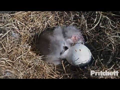 Florida Eagle Cam shows hatching of two eaglets