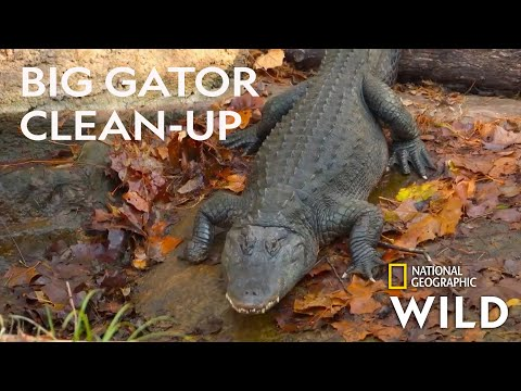 Cleaning the Gator Pool | Secrets of the Zoo