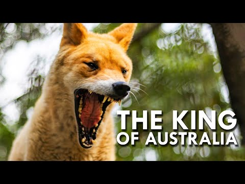 Australia's Wild Dingoes Are Such Fascinating Creatures!