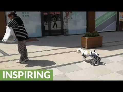 Inspiring dog shows no limits despite his disability