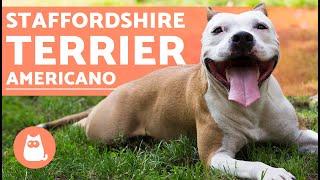 Staffordshire Terrier Americano - Características Y Cuidados