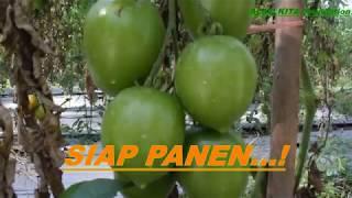 Tomat Siap Panen