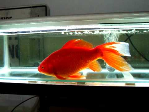 Possono stare 4 pesci rossi in un acquario da 40 litri for Vaschetta per pesci rossi prezzi