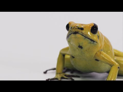 This Frog can Kill you in 3 seconds.