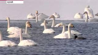 Настоящее лебединое озеро в уголке Алтайского края