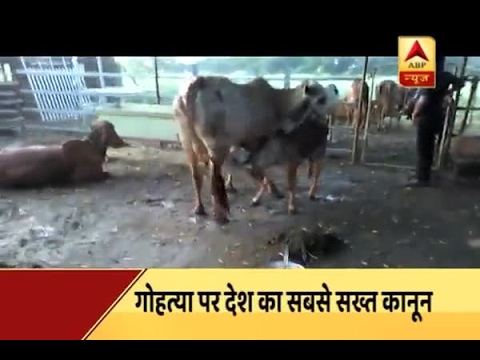 Jan Man: Life term for cow slaughter in Gujarat, Assembly clears bill