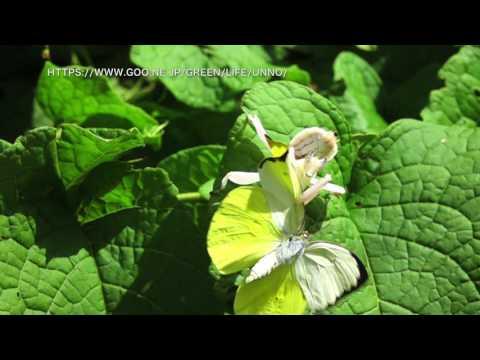 ハナカマキリがチョウを捕らえる