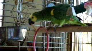 Samoyed wants parrot's cracker