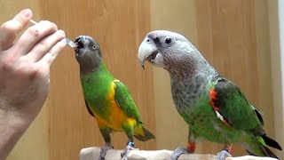 Parrots Taking Medication Together as a Flock