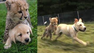 Вот зачем щенков бросают в клетки с гепардами!