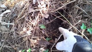 Pulling up buried chicken wire.