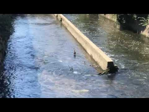 Pesci galleggianti nell'Olona