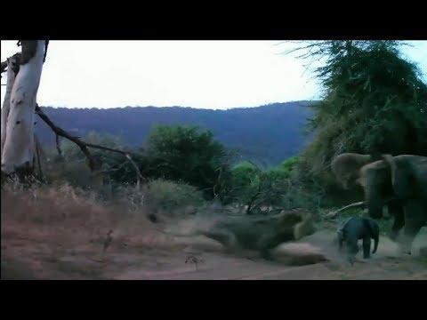 Отчаянная слониха защитила своего малыша от голодного хищника