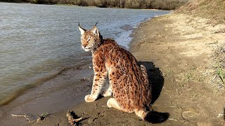 Рысь Марс на весенней прогулке / Mars the lynx on the spring walk