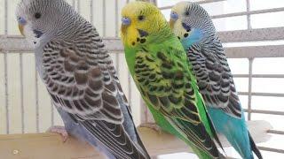 6 Hours Budgies Parakeets Birds Singing, Chirping, Reduce stress blood pressure heart diseases