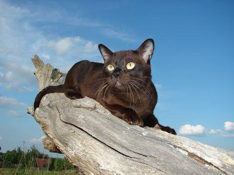 Бурманская кошка   Все о породе . Интересные факты