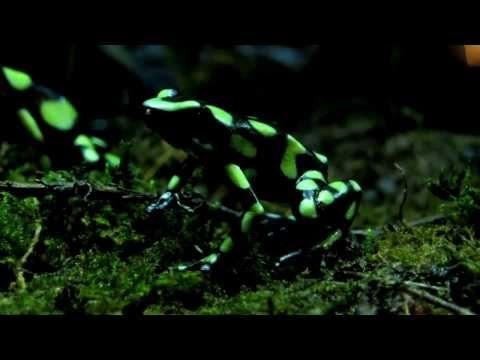 Kokoe poison dart frog, Phyllobates aurotaenia, Choco, Bahía Málaga