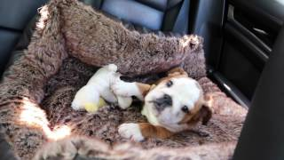 Bugatti The Bulldog - My First & Last Puppy!