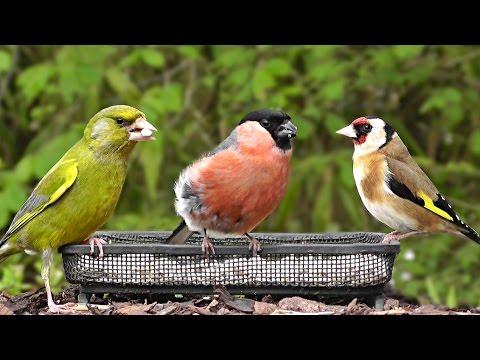 Vidéos Pour Les Chats à Surveiller - Les Oiseaux du Jardin