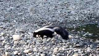 Striped Skunk Foraging Along the Eel River