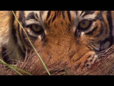 Tygr na lovu divočáka