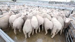 Mount Gambier Lamb Market Report - 4th November 2015