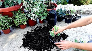 How to Grow a Ficus Benjamina from cutted branch very easy