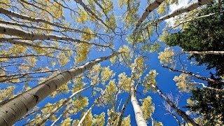 1 Hour in a Healing Aspen Forest w/ Nature Sounds 1080p Pure Relaxation Video