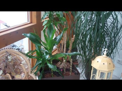 Drachenbaum schneiden und vermehren - Lilo Siegel