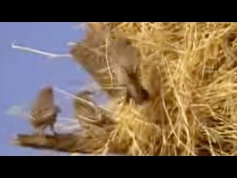 عش الطيور في شجرة في أفريقيا