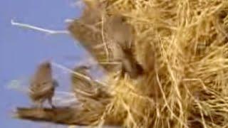 Sociable Weaver