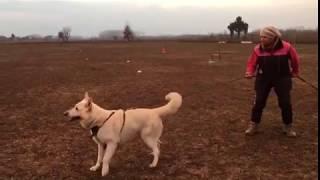 Aras Rocco Stallone e Poi Su Addestramento Pastore Svizzero Bianco 6/3/2018 Video 1