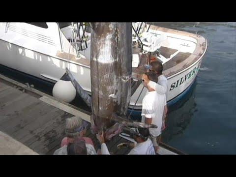 Espadarte-azul de 366 quilos pescado na Ilha da Madeira