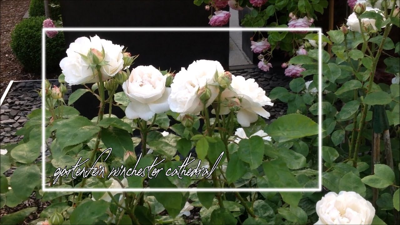 Rose Winchester Cathedral | David Austin | Rosenvideo | gartenfein [HD]
