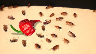 WHAT IF TO 100 HUNGRY COCKROACHES PUT DOWN CAROLINA REAPER? ROAD TO HELL