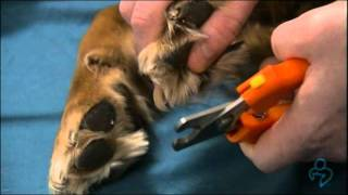 Willard Vet Tutorial: How to clip your dog's nails