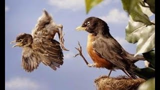 Bạn sẽ phải thán phục loài chim khi xem clip này (Không những đẹp - kỳ lạ - mà còn rất thông minh)
