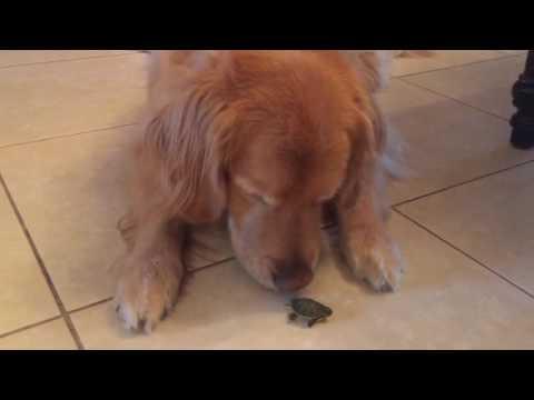 Big Dog Meets a Tiny Turtle
