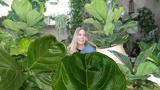 Fiddle Leaf Fig Success in 8 Steps!   The Basics of Ficus Lyrata Care