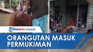 Warga Dihebohkan Orangutan Masuk Permukinan di Paser Kaltim, BKSDA Turun Tangan