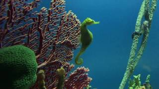 Seahorses in Saltwater Aquarium