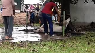 preview picture of video 'Part - 3 Hari Raya Aidiladha - Sembelih Lembu korban Masjid jamik Bagan Ajam 2013 amokan lembu'